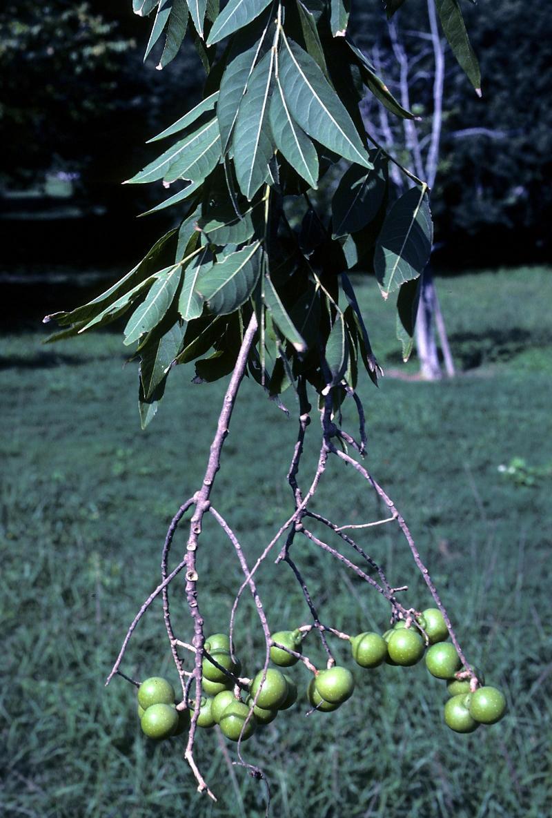 Sapindus Mukorossi Soapnuts Soap Nut Soapberry