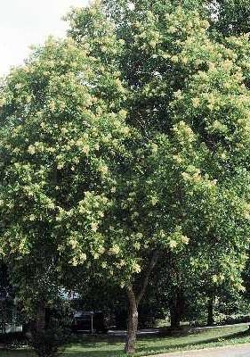 Мыльные орехи Мукоросси и Трифолиатус Smtree