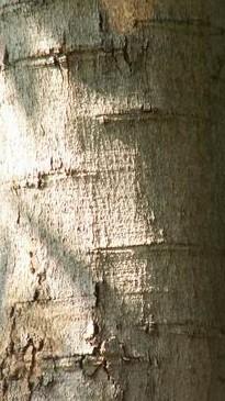 Мыльные орехи Мукоросси и Трифолиатус Snbark